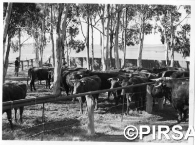 Beef cattle in the 1950s