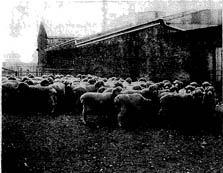 Ewe flock at Turretfield Research Centre April 1967