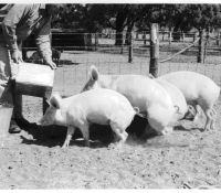 Figure 2, Photo 104977, Feeding pigs outdoors.
