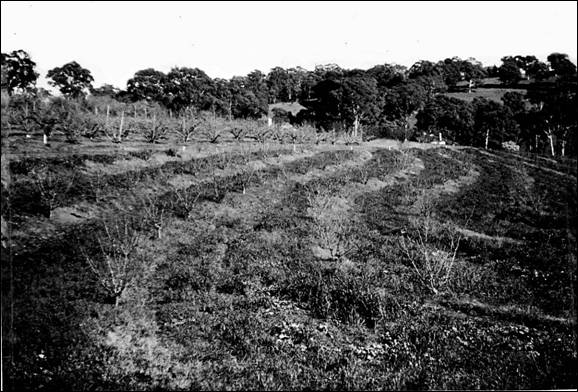 Contour platings of orchards, Blackwood 1950