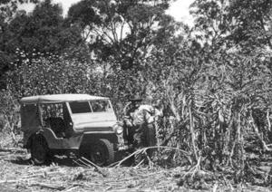 Artichoke weed control near Gladstone 1950