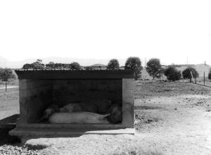 Figure 6, Photo 104871, Rough shelters used to house pigs.