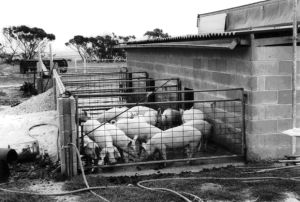 Figure 7, Photo 104881, Pigs kept in these units have a choice between an inside shelter and an outside run.