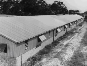 Figure 8, Photo 104890, Example of intensive pig shed.
