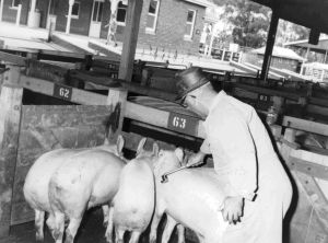 Figure 11, Photo 104966 Joe Stanley, Department of Agriculture, Stock Inspector, demonstrating the branding of pigs.